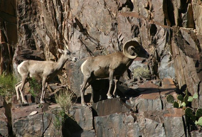 desert-bighorn-sheep-896910_1280